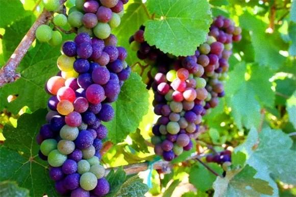 毛公山下,美丽乡村,美味葡萄