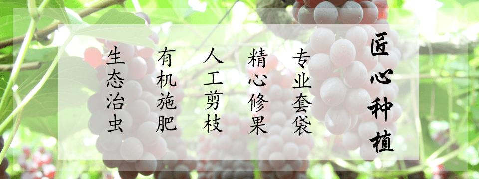 青岛葡萄采摘节