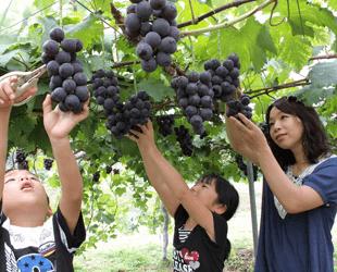 青岛巨峰葡萄