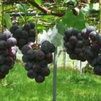 葡萄采摘休闲农业在湖南的发展