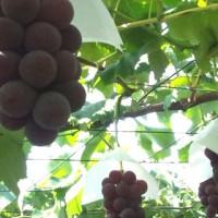 葡萄采摘休闲农业具有市场前景