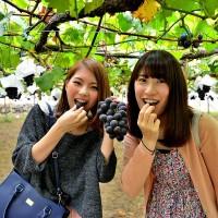 发展青岛葡萄采摘节旅游可以促进城乡交流