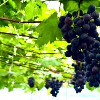 宫家村巨峰葡萄采摘节:葡萄产业发展