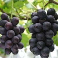 台湾葡萄采摘观光农业介绍
