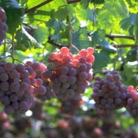 青岛巨峰葡萄施有机肥