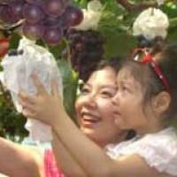 巨峰葡萄采摘,就到青岛郝家葡萄采摘园