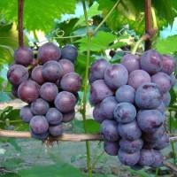 铺设反光膜对巨峰葡萄的影响