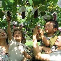 青岛巨峰葡萄园土壤改造