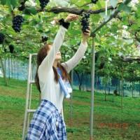 巨峰葡萄根系的生长特性