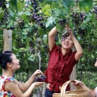 葡萄采摘节分类