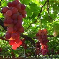 巨峰葡萄生长需要的土壤条件